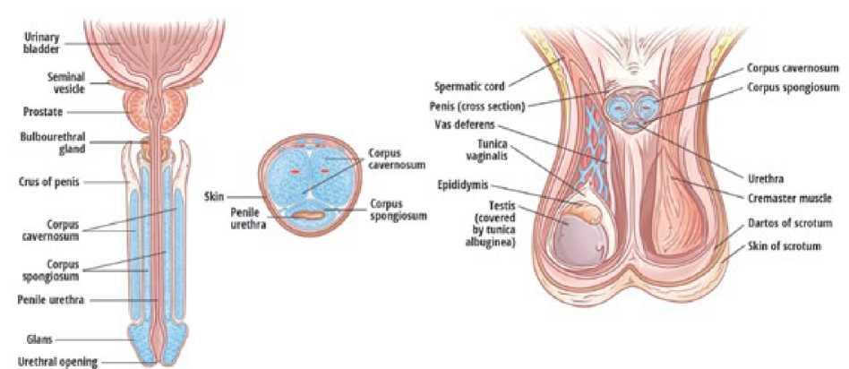 masno tkivo na penisu